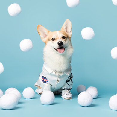 Furza, the official Corgi for all seasons, with some fake snowballs